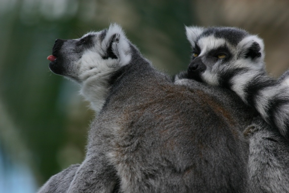 Ring-Tailed Lemur Tongue