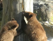 Two Baby Brown Bears Enjoying Honey