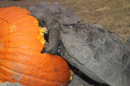 Turtle vs. Pumpkin